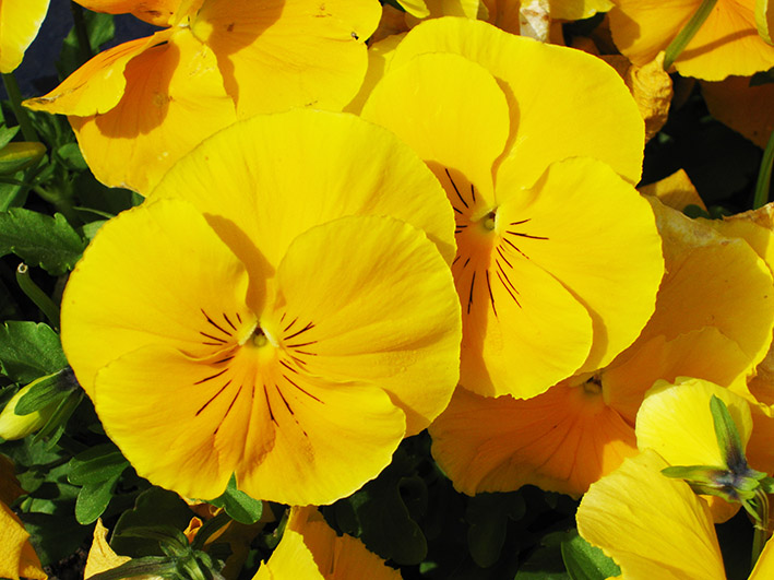 yellow orange pansies