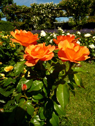 orange roses rose photo