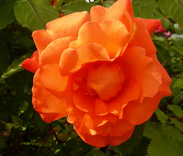 orange rose picture in garden