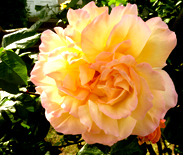 rose photo orange rose