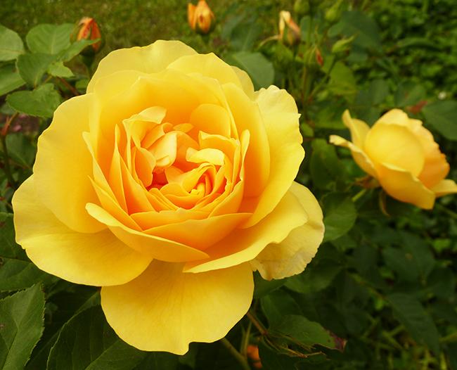 pictures of roses orange rose