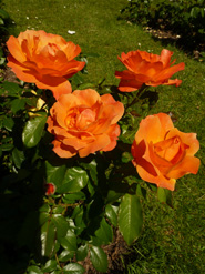 Pictures of roses orange roses
