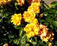 Rose clip art orange roses