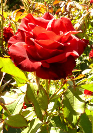 one red rose images