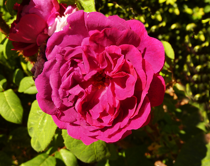 photo of purple rose