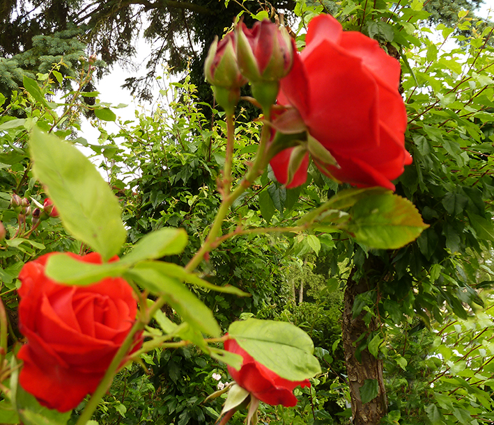 red roses and leaves