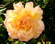 free rose clipart peachcolored rose