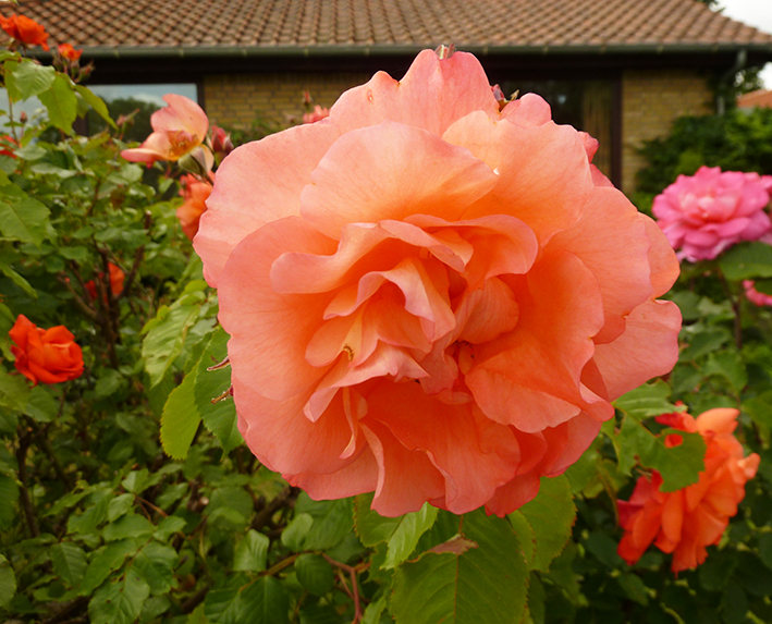 picture of soft red rose