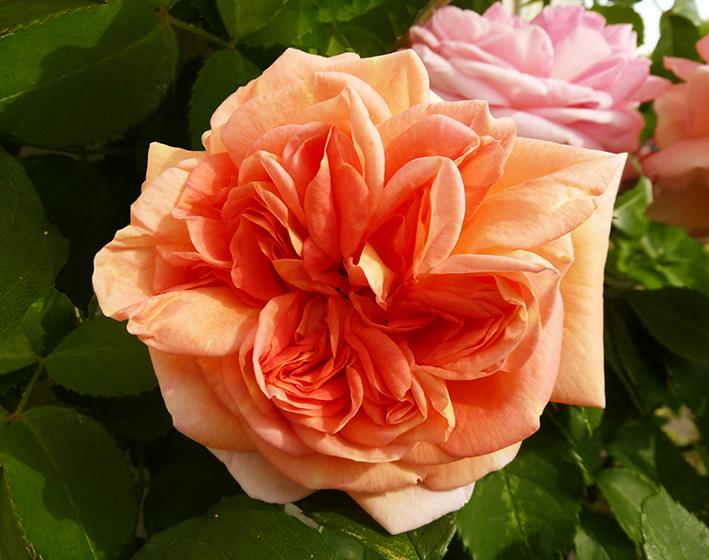 strange orange rose clip art