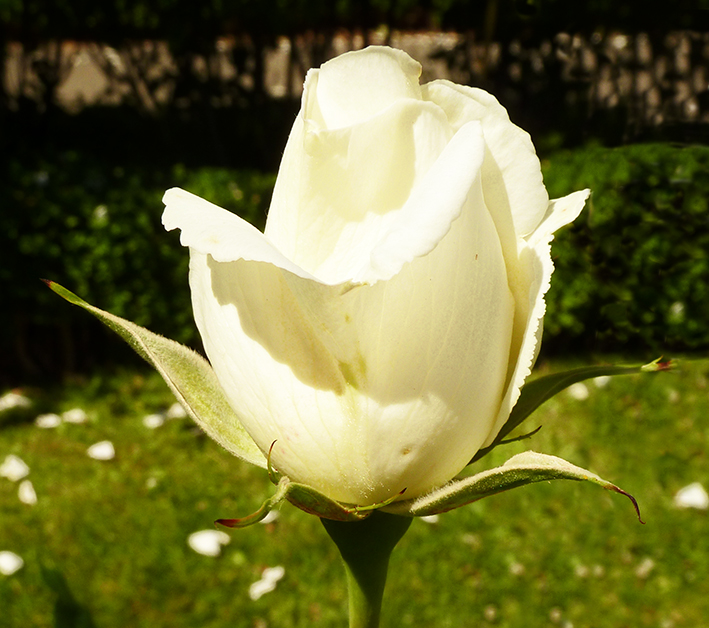 white valentine rose