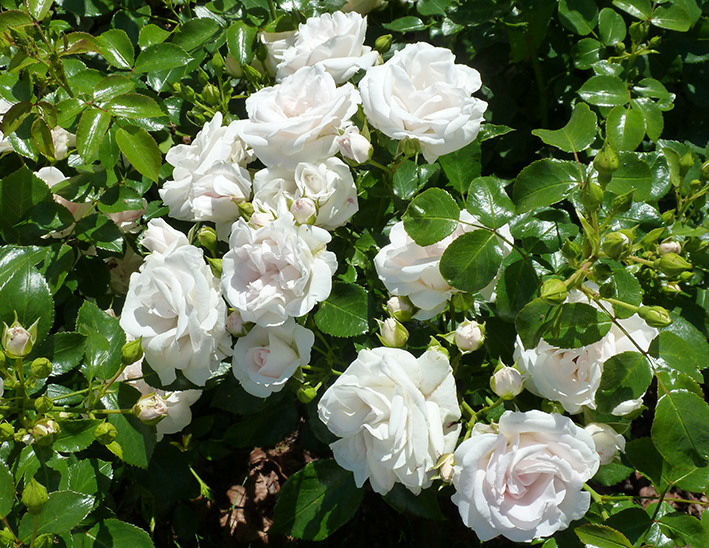 picture of lots of white roses