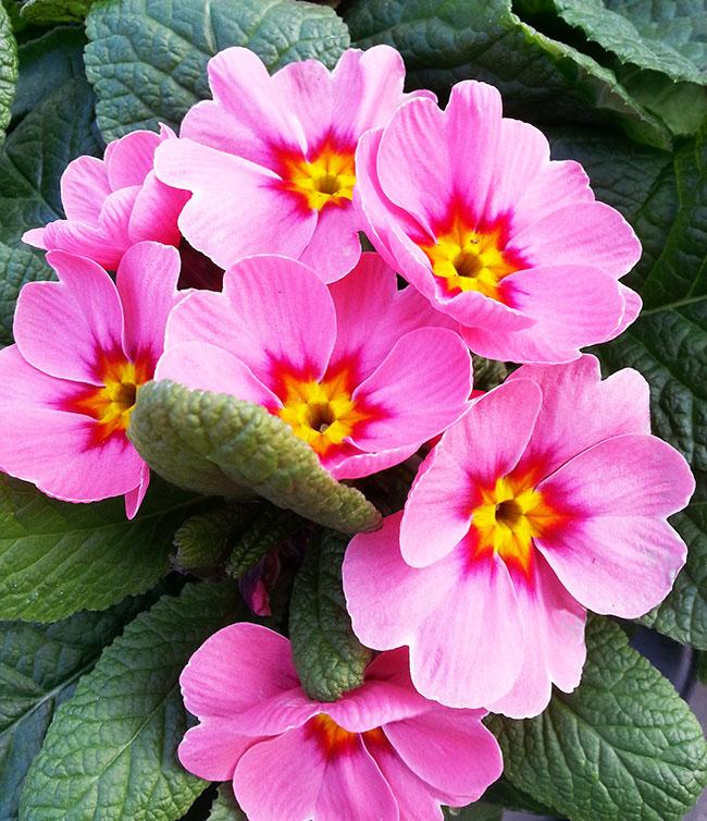 pink auriculas  blooming
