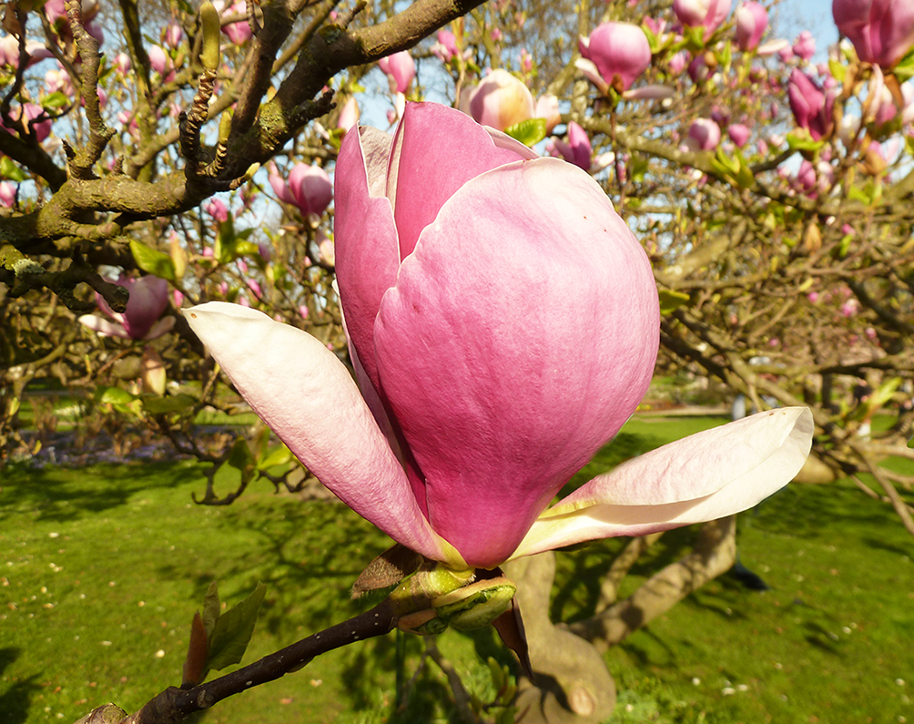 spring pictures of pink magnolia flower