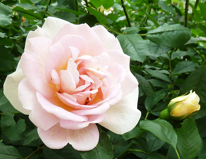 pink rose and rose bud