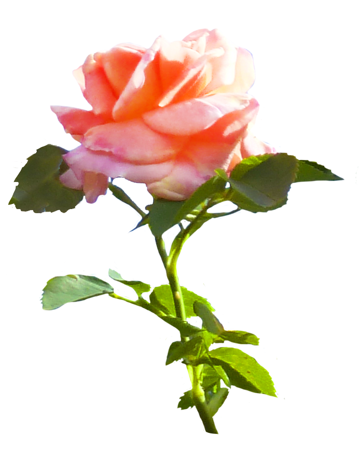 pink rose clipart with leaves