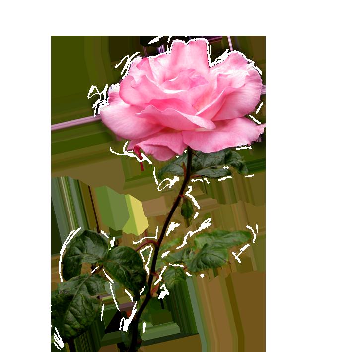 Pink rose image