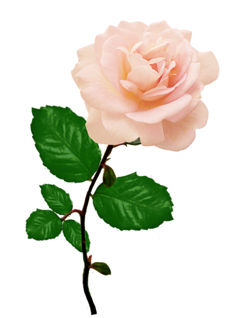 pink rose picture with long stalk leaves