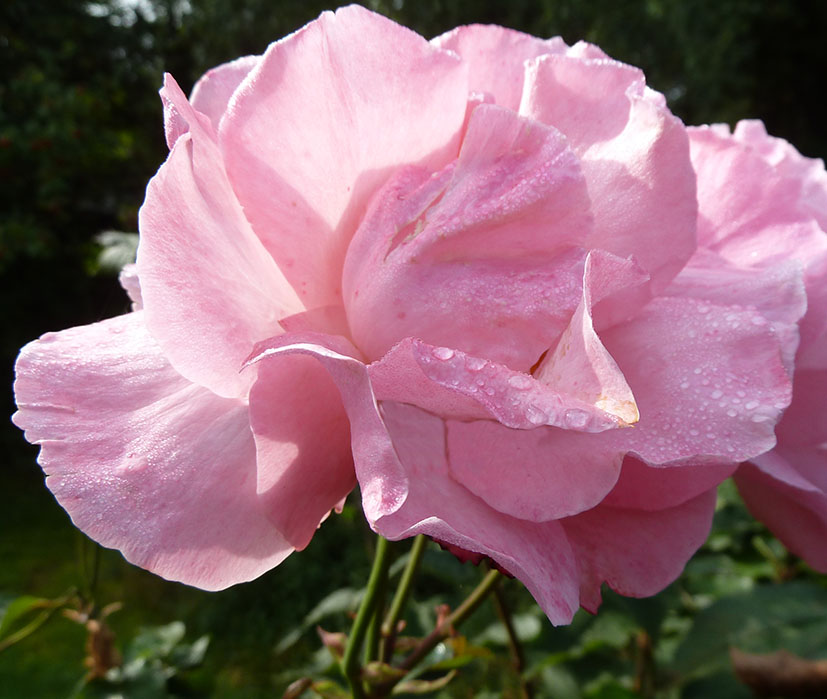 pink rose with dewdrops