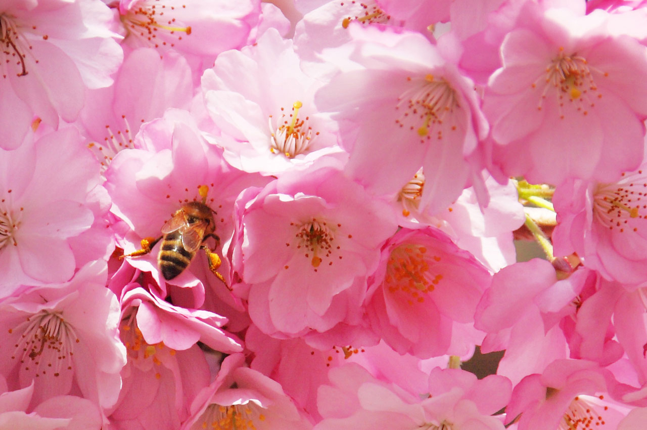 pink spring flowers and bee