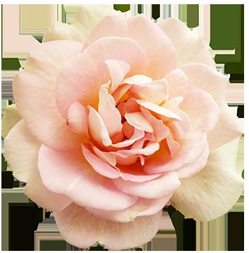 Pink Valentine Rose