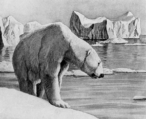 polar bear clip art old drawing