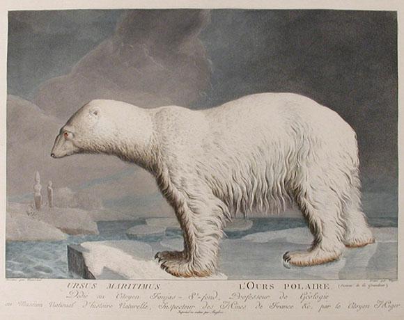 polar bear clip art ursus maritimus painting 1801