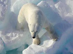 polar bear pictures ice