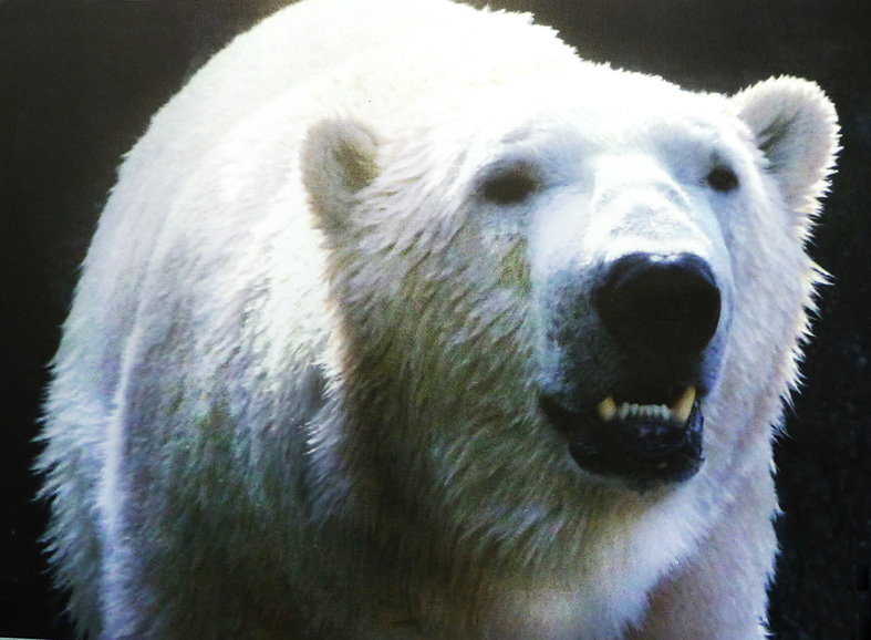 close up of polar bear