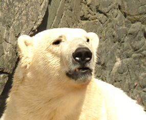 face of polar bear close up