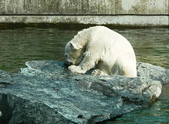 polar bear in zoo