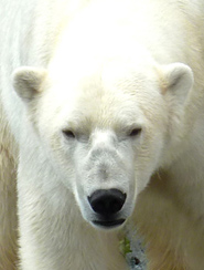 face of polar bear