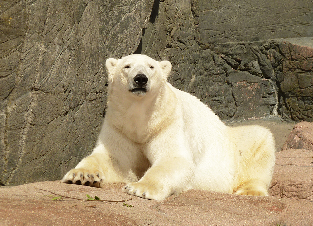 polar bear resting and looking