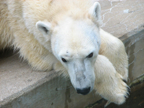 Polar bear photos lying in zoo