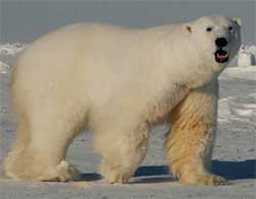 male polar bear ice