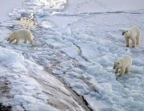 polar bears near northpole