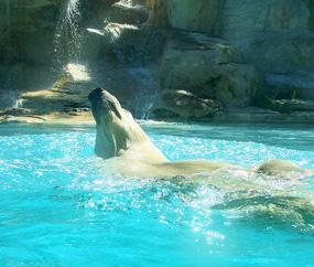 polar bear pictures ursus maritimus