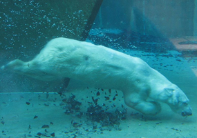Polar bear swimming in zoo