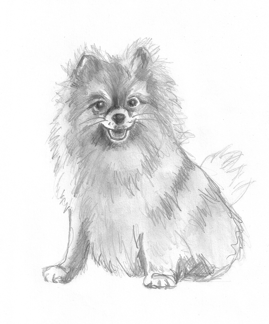 Sketch of pomeranian dog