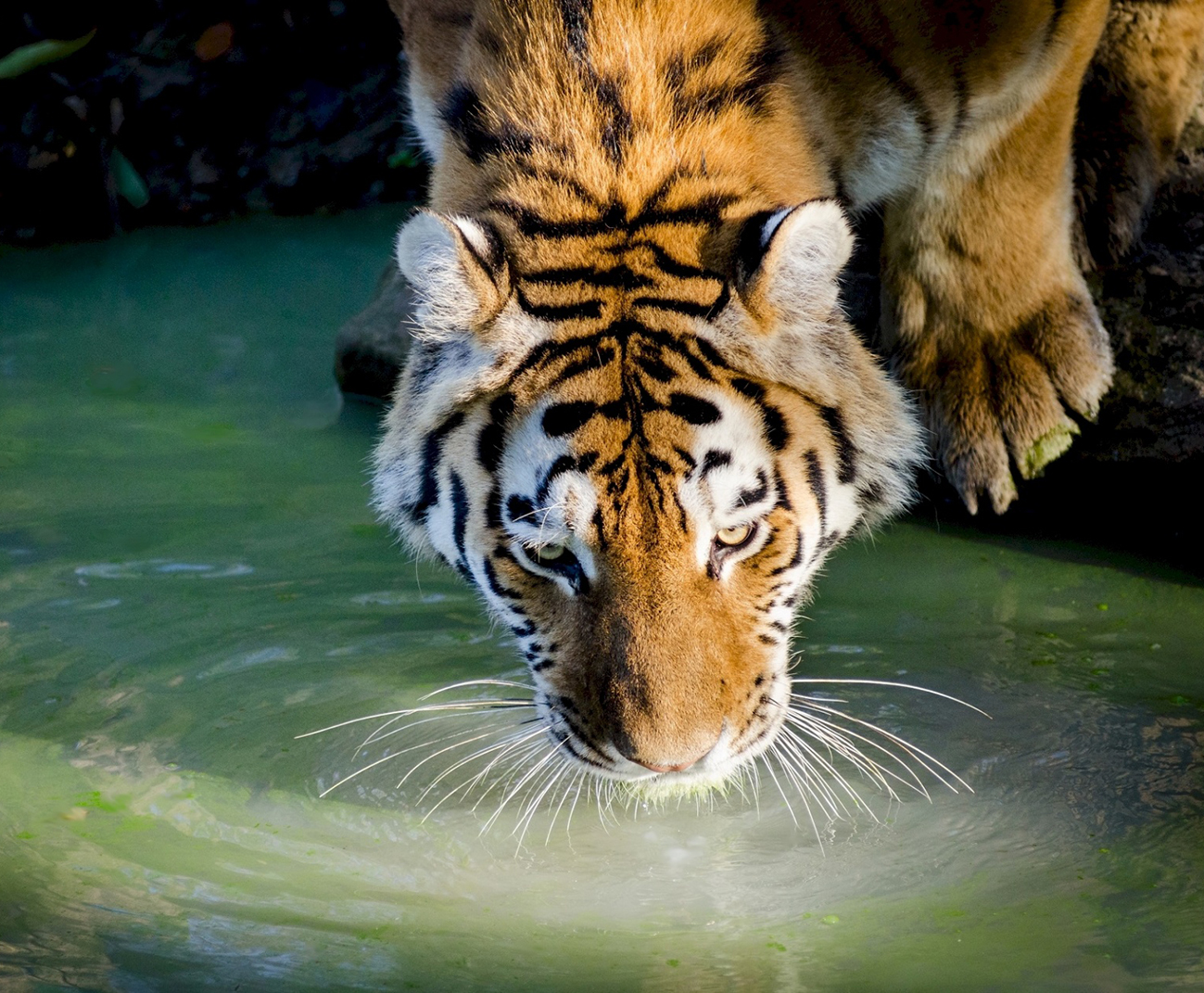 photo of tiger drinking water