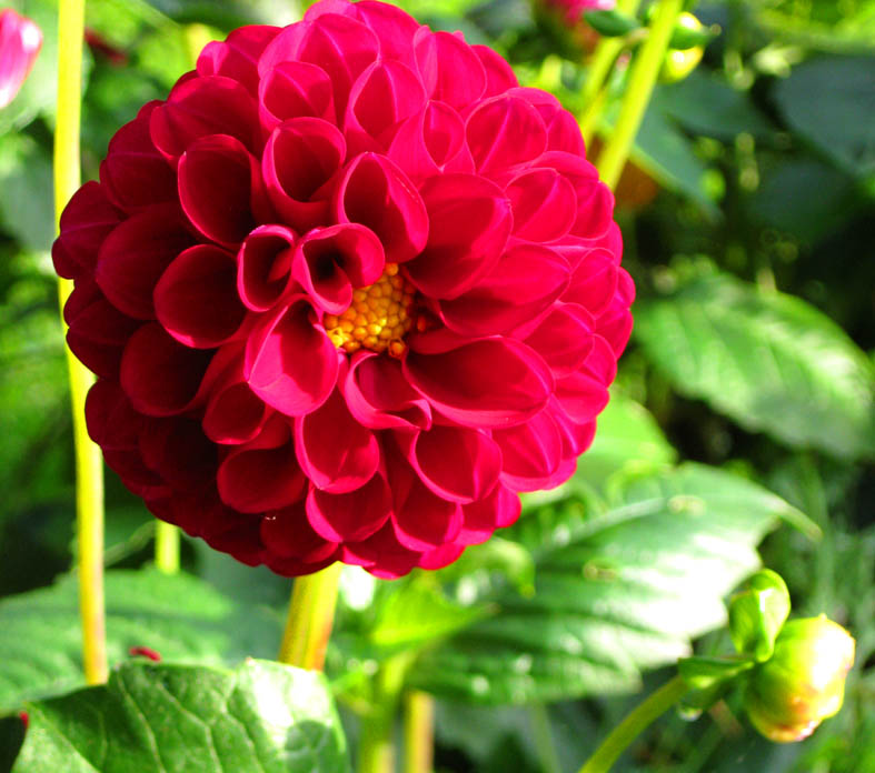 red dahlia and bud