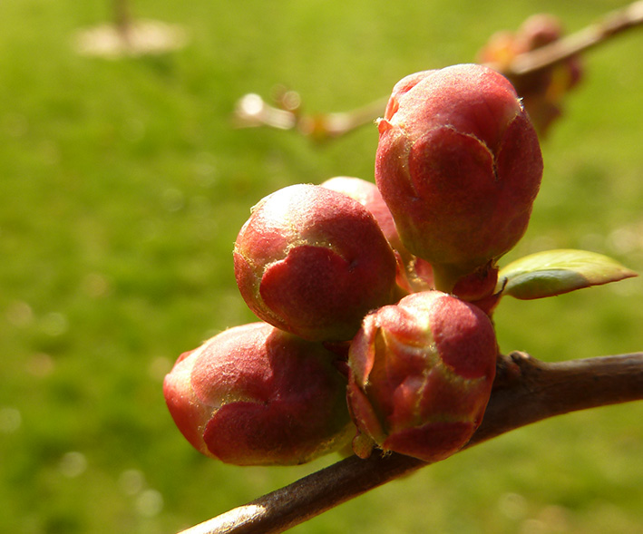 buds of red flower in spring