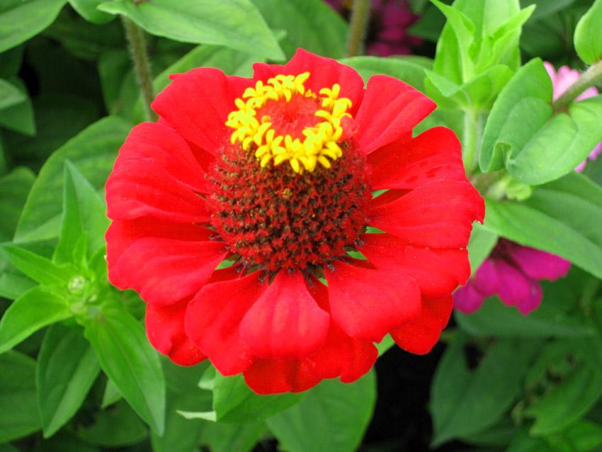 clipart red flower yellow stamens