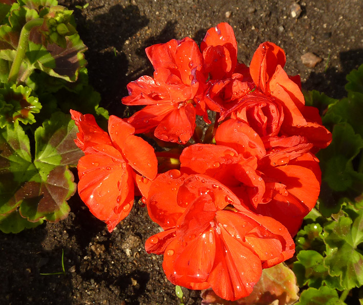 Red flowers with water drops