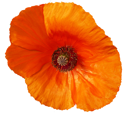 red poppy flower graphics