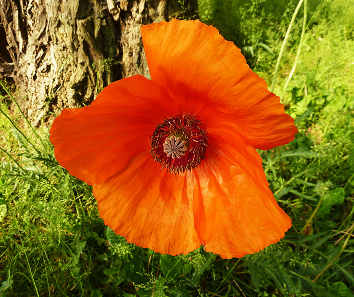 red popppy flower in green grass