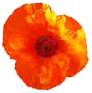 red poppy flower clipart