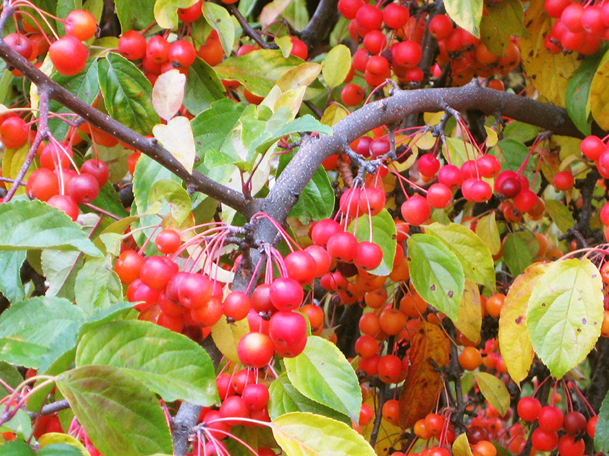 red red autumn berries