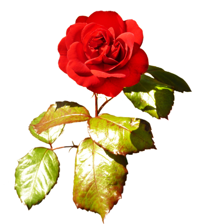 red red Valentine rose