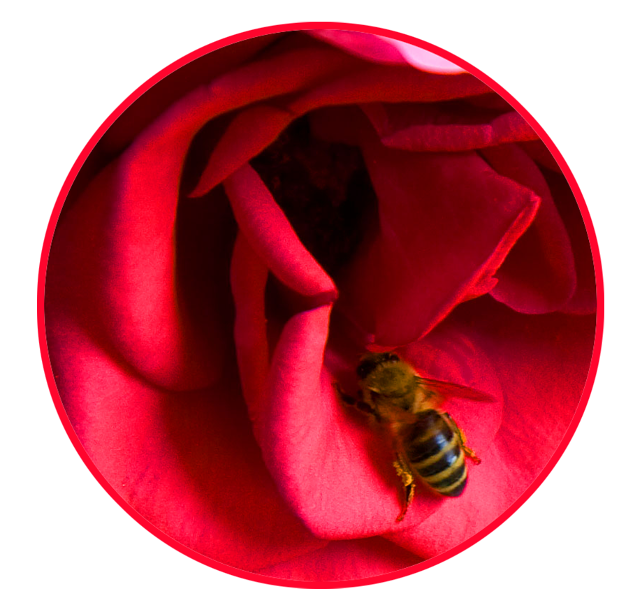 red rose cirkle honey bee