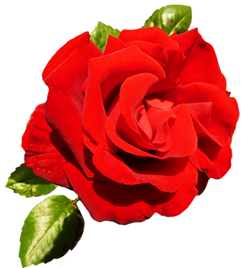red rose for your Valentine